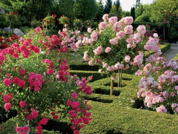 roses along the garden
