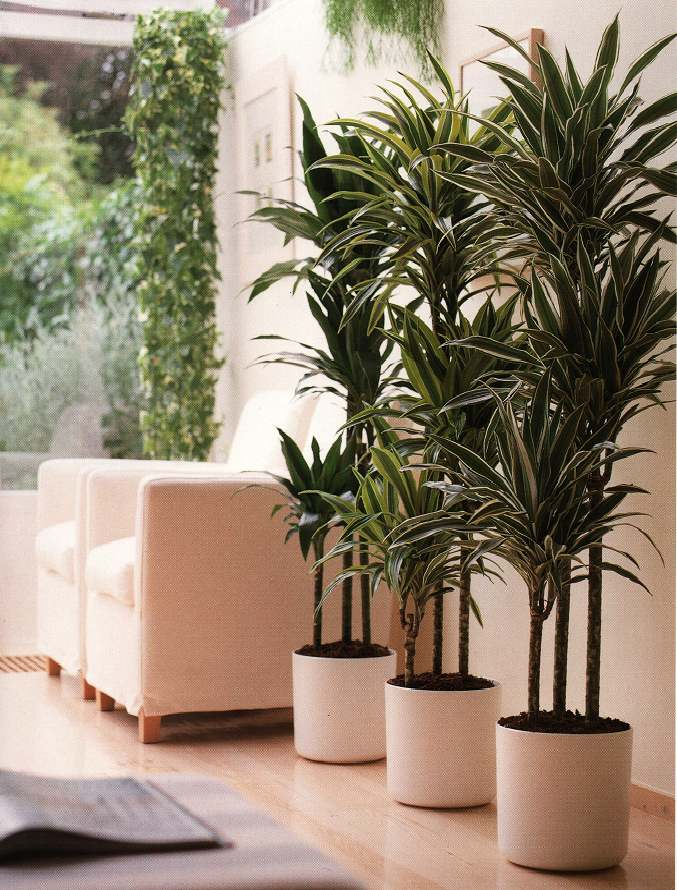 Large Plants In The House Ideas Designs And More